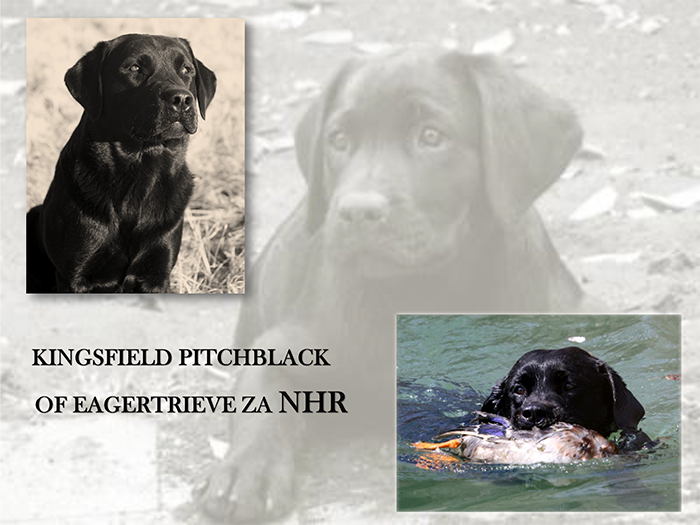 KINGSFIELD PITCHBLACK OF EAGERTRIEVE ZA NHR