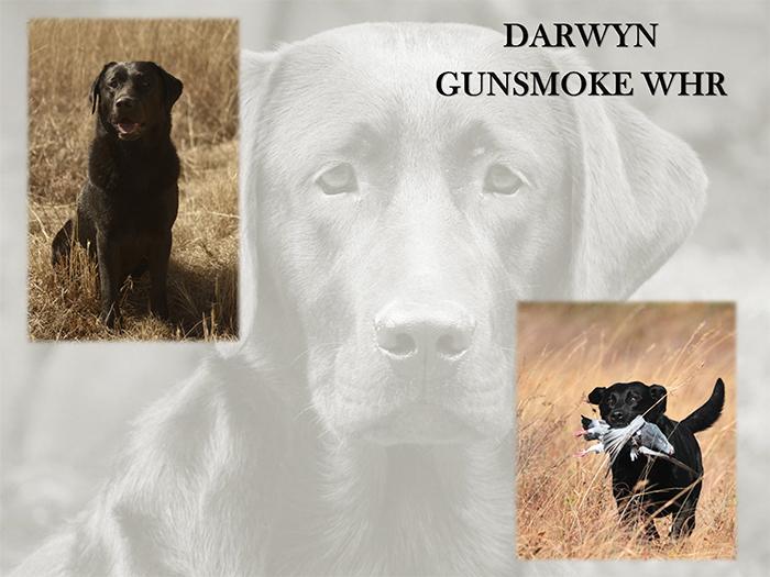 DARWYN GUNSMOKE WHR